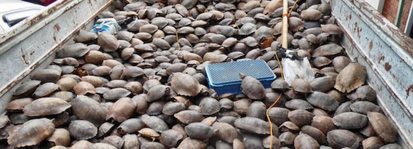 Milhares de tartarugas resgatadas após seis meses em cativeiro nas Filipinas