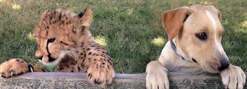 Filhote de guepardo e cachorrinho resgatado se tornam melhores amigos