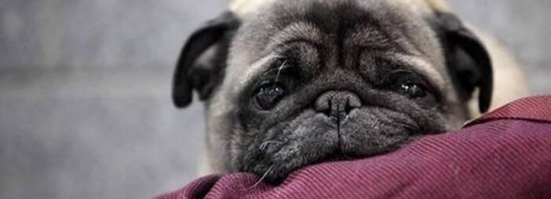 Cistite em cães: sintomas, diagnóstico e tratamento