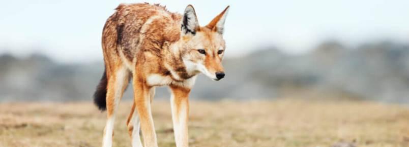 Lobos em risco de extinção: os casos do lobo-vermelho e do lobo-etíope