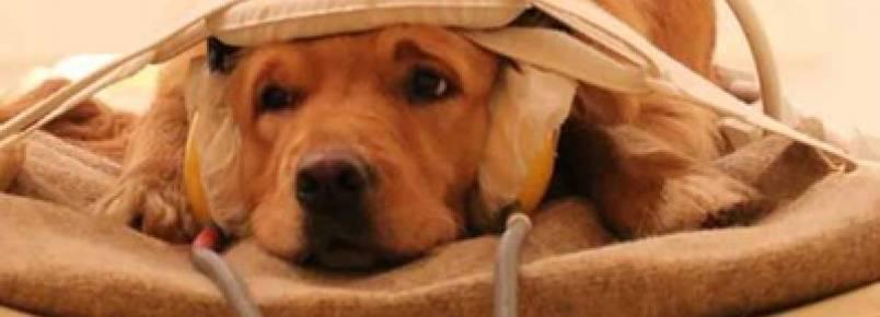 Cachorros entendem as emoções dos donos