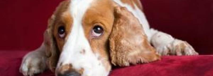 Estudo revela que a vida agitada dos tutores está deixando os cães mais ansiosos e depressivos
