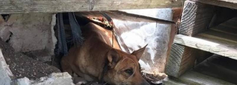 Cadela abandonada se esconde debaixo de uma casa para proteger seus filhotes