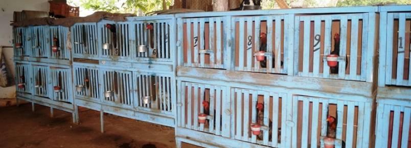 Semmac apreende 54 galos de rinha em uma chácara em Catalão