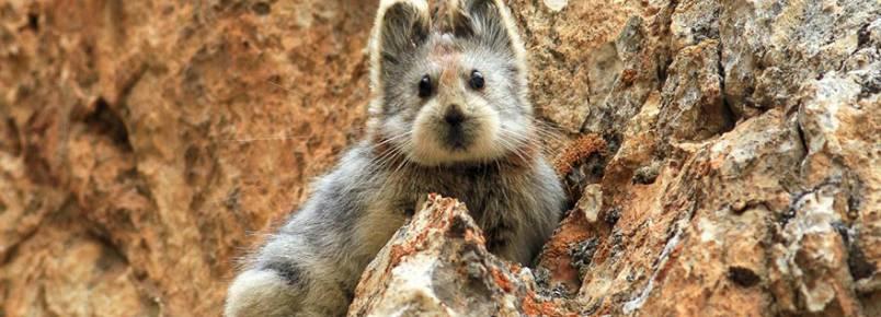 É um urso ou um coelho? Não, é um animal em risco de extinção!