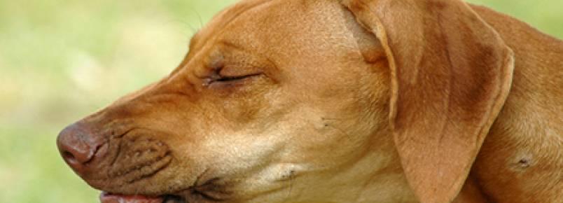 Espirro reverso em cães: você sabe o que é?