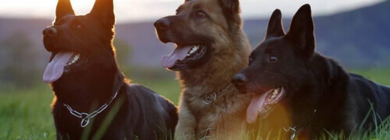 5 comportamentos dos cães que tentam atacar
