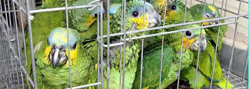 A cada 10 animais que são traficados, 9 morrem na viagem, afirma subtenente da Copa