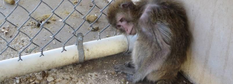 Macacos são negligenciados e aterrorizados por empresa comerciante de primatas