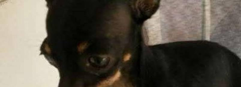 Internauta procura por cachorro Pinscher