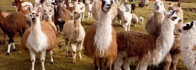 As diferenças entre lhamas e alpacas