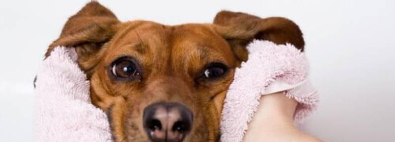 Quando o nariz seco é um alerta de doença em cães