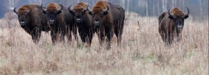 Bisontes regressam à Roménia dois séculos depois
