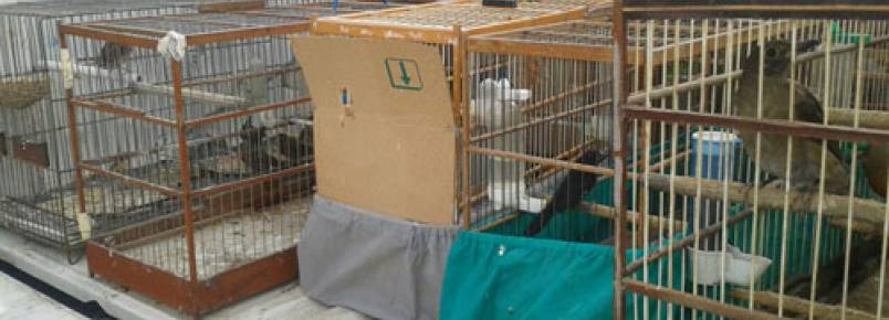 Polícia Ambiental apreende 50 pássaros silvestres