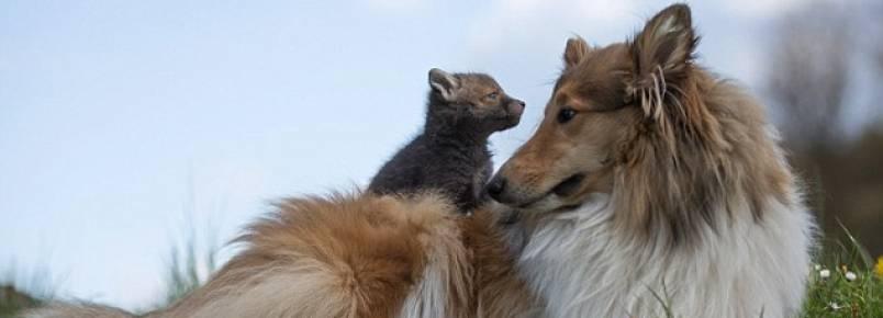 Filhote de raposa órfão ganha uma mãe adotiva canina e um amigo felino