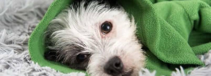 Dicas para prevenir os resfriados em cães