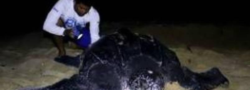 Tartaruga-de-couro de 300 quilos desova na praia da Pedra do Sal