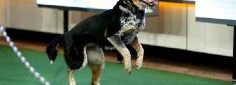 Cachorra pula corda dupla melhor do que muita gente