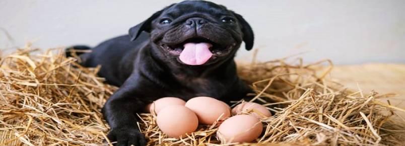 Alimentação pet: animais de estimação podem comer ovo?