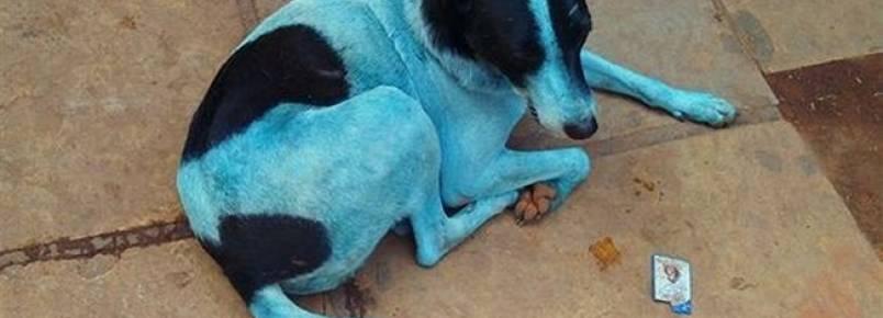 Entenda o fenômeno que está fazendo cães ficarem azuis na Índia
