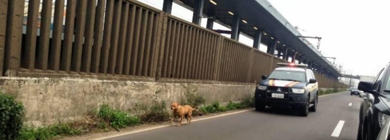 """Viatura da PRF """"escolta"""" cachorro em rodovia no RS"""