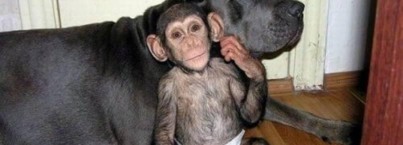 Conheça a cadela que cuida de chimpanzés órfãos