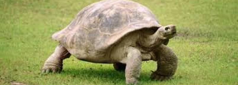 Tartaruga gigante desova no Bonete em Ilhabela
