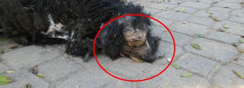 Cãozinho precisa urgentemente de ajuda