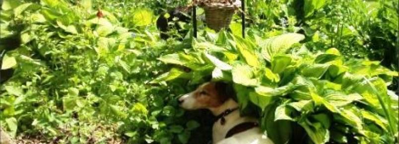 Cuidados para evitar hipertermia em cães no verão