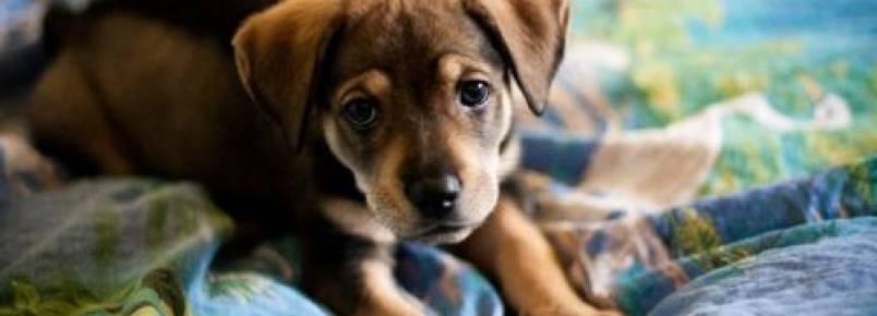 Como saber o tamanho que um cachorro filhote vai ter quando adulto