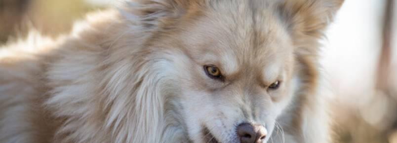 Como detectar a raiva nos cães