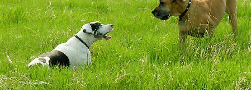 Por que meu cão está acostumado a latir para outros cães?