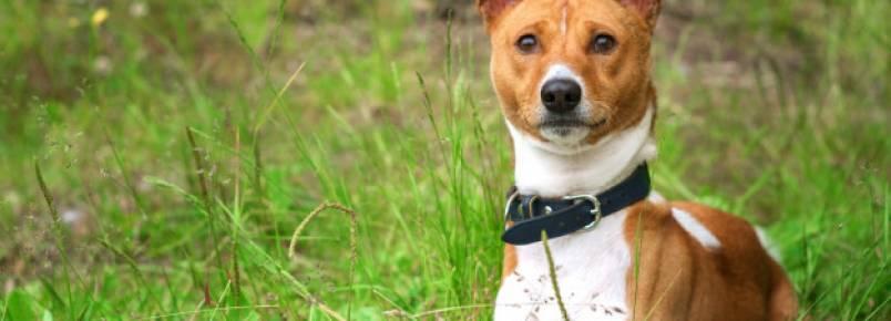 O temperamento do Basenji – Como este cão se comporta?