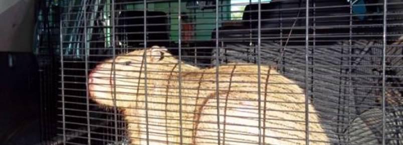 Capivara é encontrada dentro de shopping em Maringá