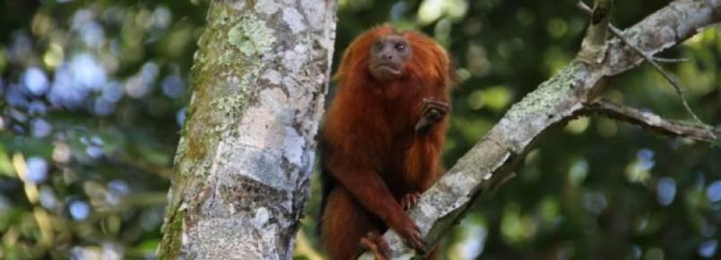 Projeto em defesa do mico-leão-dourado em parceria com a Prefeitura de Casimiro de Abreu é finalista do Prêmio Nacional de Biodiversidade