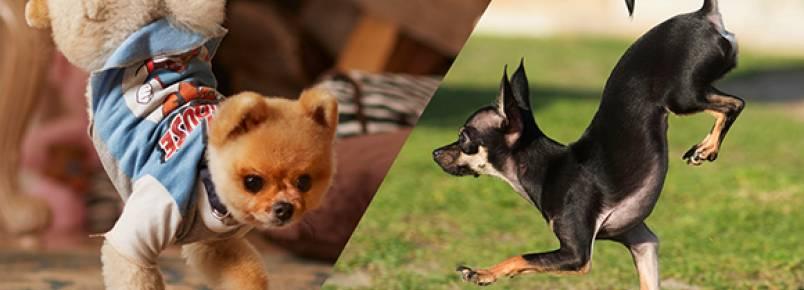 Cachorra bate recorde por causa de sua velocidade ao andar apenas com as patas da frente