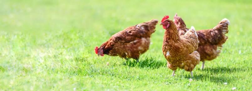 Ácaro-de-galinha: tudo que você precisa saber