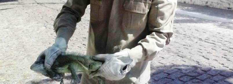 Iguana é capturada pelo 3º Grupamento de Bombeiros no centro de Corumbá