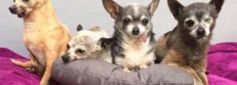 Mulher adota Chihuahuas idosos pra lhes dar o tratamento e amor que eles merecem