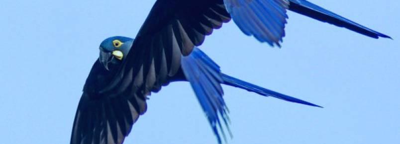 População de arara-azul triplica em três décadas no Pantanal