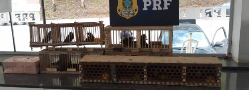 PRF apreende 17 pássaros silvestres escondidos em porta-malas de carro na BR-381