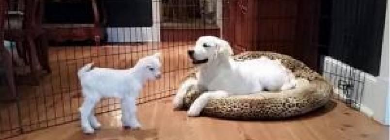 Amizade entre filhote de cachorro e uma cabra bebê