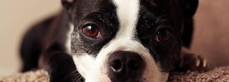 Sintomas de uma reação alérgica em cães