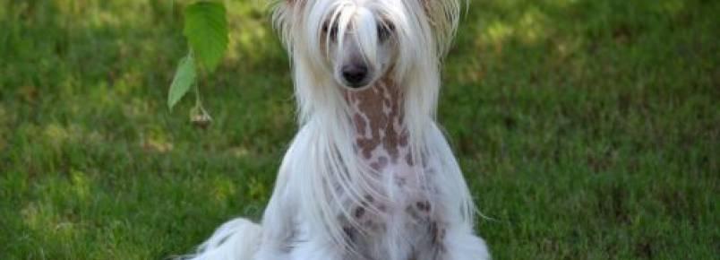 7 melhores raças de cães hipoalergênicos para portadores de alergia