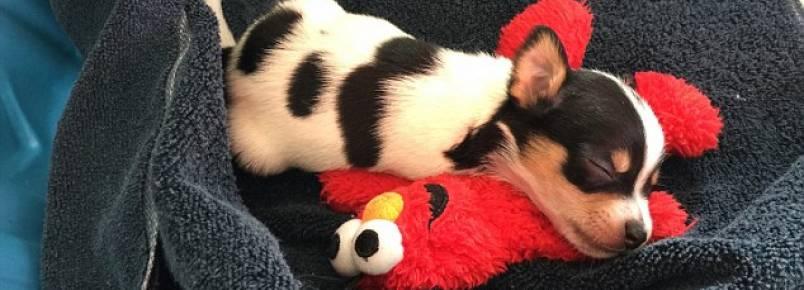 Chihuahua rejeitado porque nasceu com apenas duas patas consegue novo lar