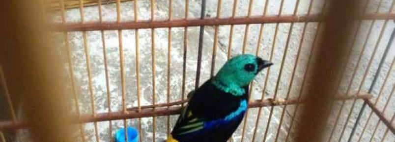 Dois pássaros ameaçados de extinção são resgatados em menos de uma semana no estado