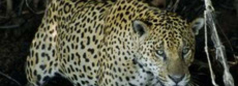 Governo estuda acordo com ONGs para preservação da onça pintada