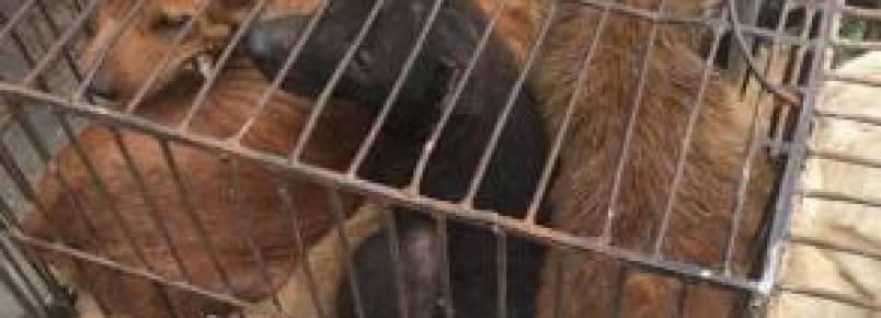 29 cães e cinco gatos são salvos de serem comidos na China