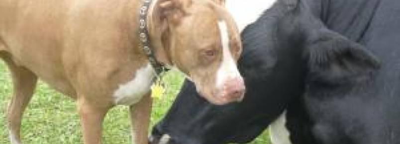 Boi e Pit Bull são salvos de destino cruel e se tornam melhores amigos