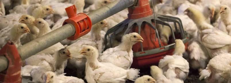 Ativistas denunciam crueldade contra animais em política de controle à gripe aviária